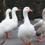 « Ganzeliesel », le nouveau label des producteurs de foie gras alsaciens