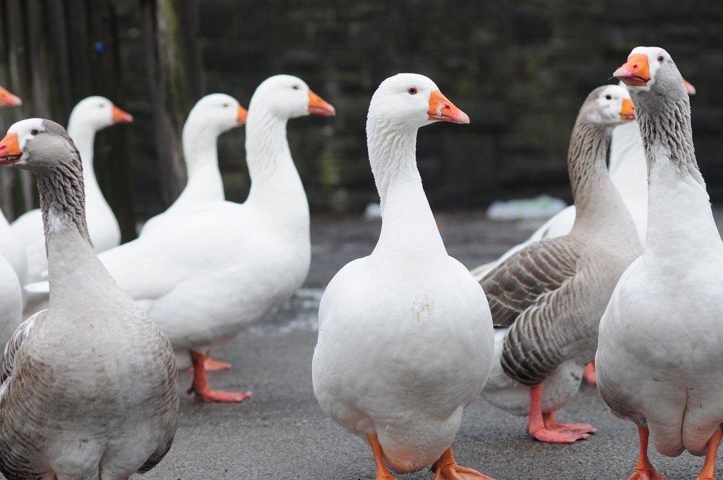 Ganzeliesel label alsacien des producteurs de foie gras